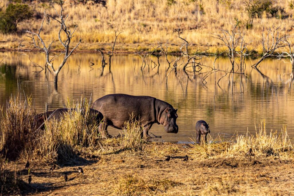 Pilanesberg Hippos