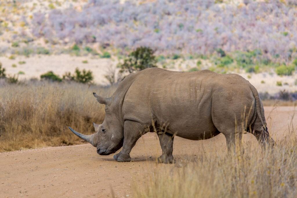 Pilanesberg Rhino Nashorn