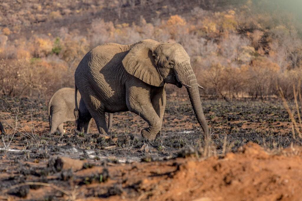 Pilanesberg elefant